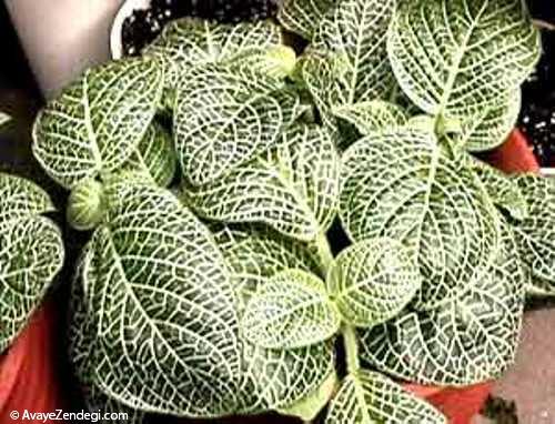 آموزش نگهداری از گیاه آپارتمانی فیتونیا