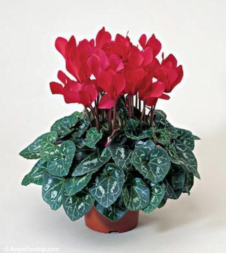 آموزش نگهداری از گیاه سیکلمن در خانه