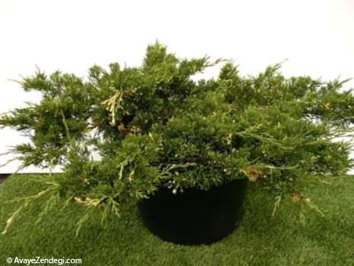 گیاه زینتی «جونی پروس مش»