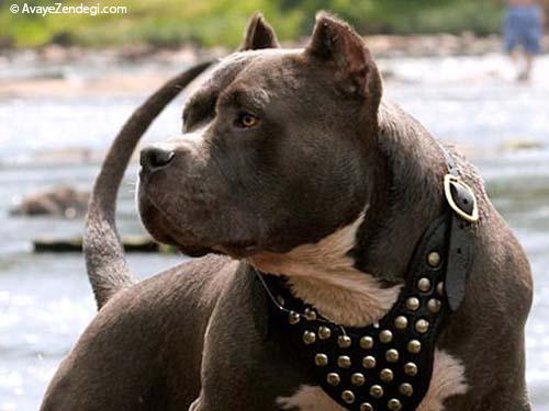معرفی نژاد سگ پیت بول