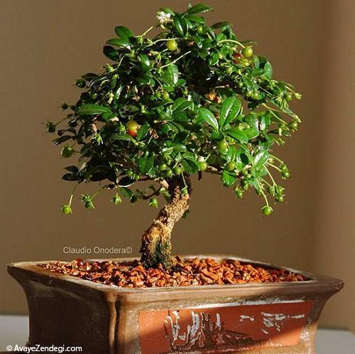 با گیاه آپارتمانی بن سای زمستانی شادابتر داشته باشید