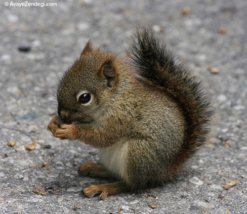 پرورش و نگهداری سنجاب