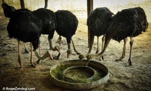 جایی که شترمرغ ها چشم باز می کنند