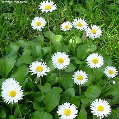 گل مینای چمنی