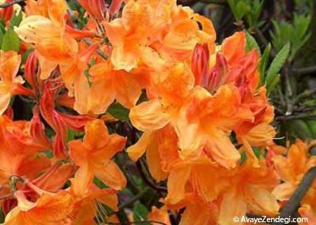 درختچه آزالیای نارنجی