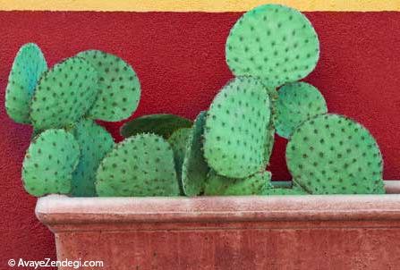 قلمه زدن کاکتوس و نکات ریز در مورد این گیاه