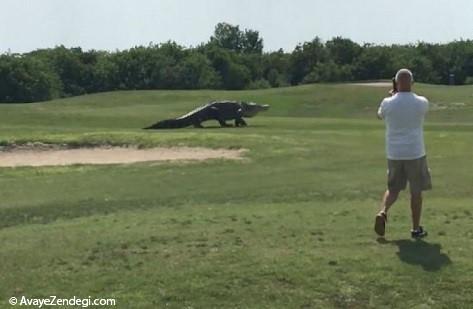 تمساح غول پیکر در فلوریدا!